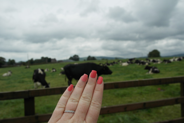 Vaches 3