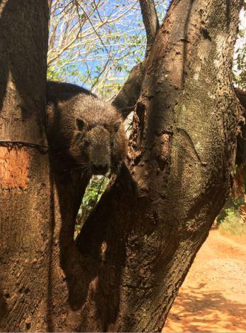 Vallee de Vinales - Tree rat